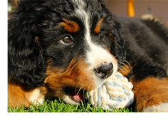 teething in young dogs